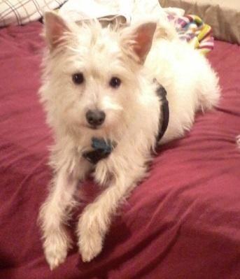 Adopt Keno On Adoption White Terrier Dogs