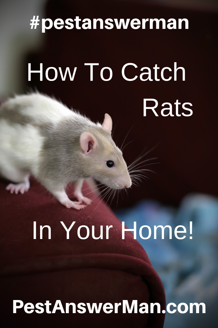 How To Catch Rats And Mice In Your Home Getting Rid Of Rats Rat Traps Stink Bugs