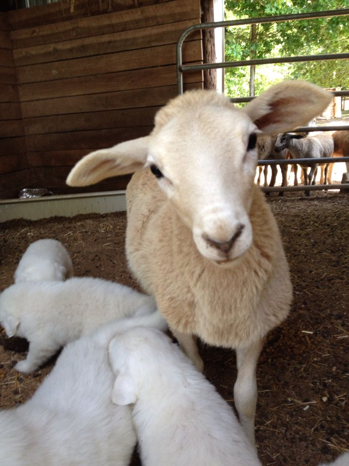 Great pyrenees puppies and katahdin lambs with images