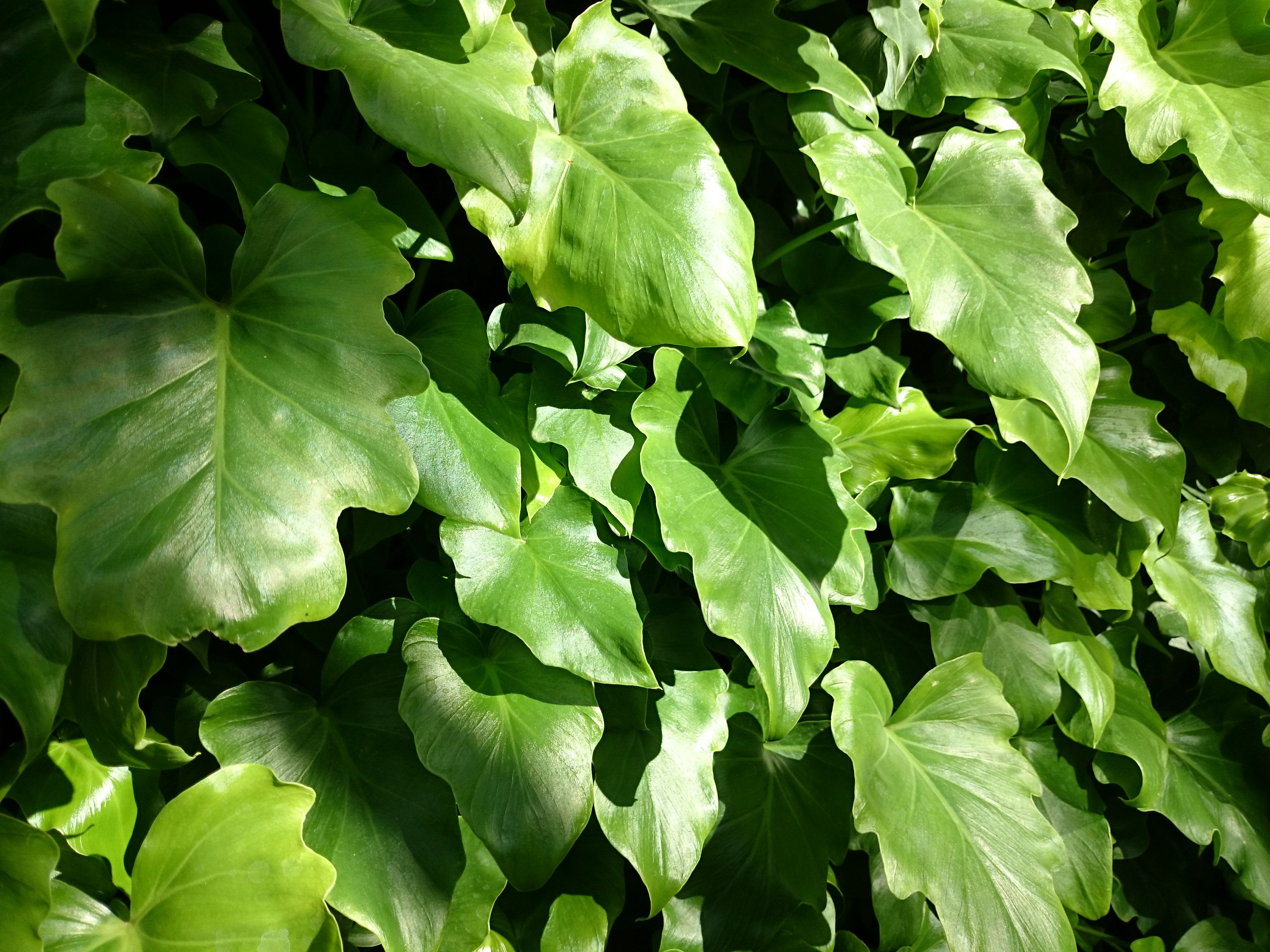 Philodendron 'Little Hope', young specimens mass planted