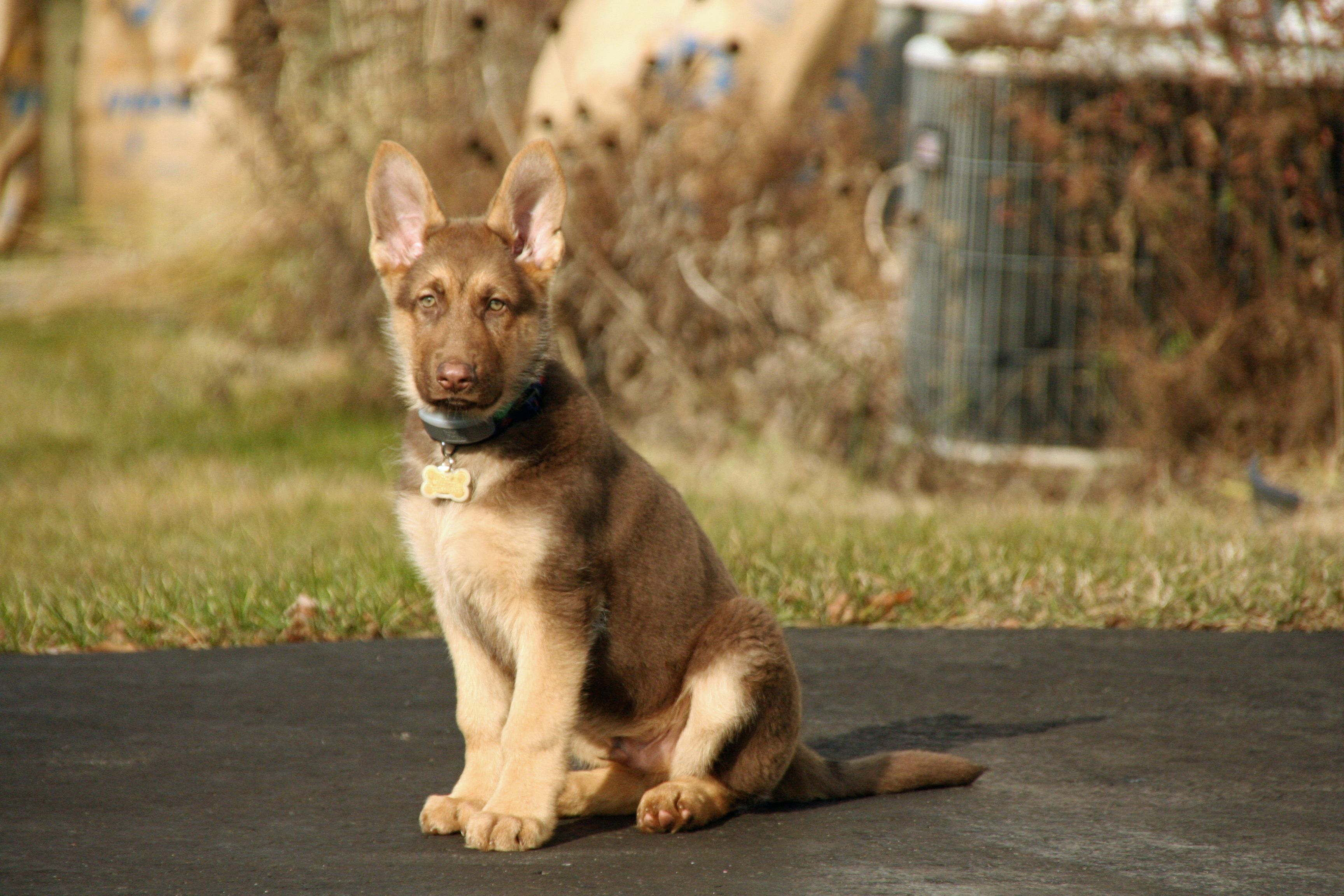 Pin by SueGal on Liver-coated German Shepherds | Pinterest