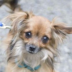 Oliver is an adoptable Papillon Dog in Vernonia, OR. To see this dogs details, pictures, or to complete an adoption application, please continue to the Available page at  http://DisplacedPetsRescue.co...