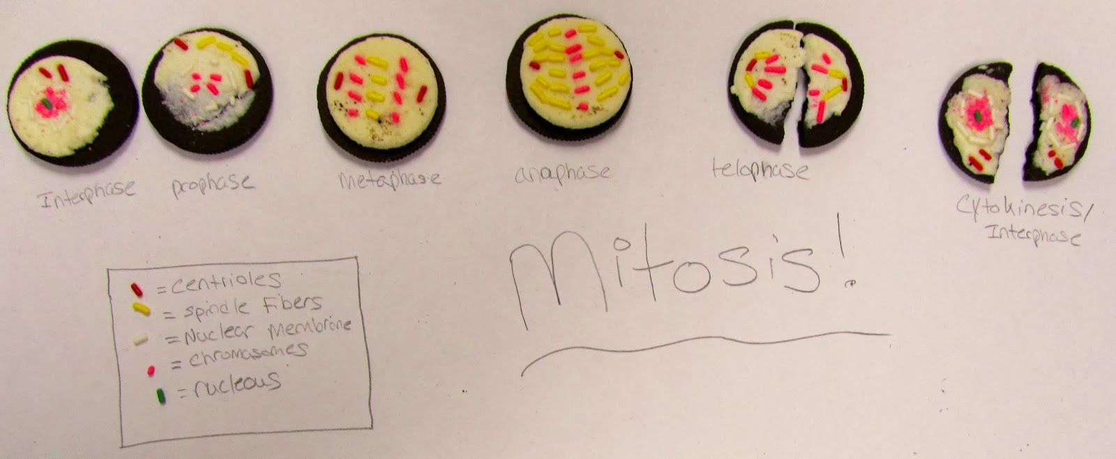 Oreo Mitosis Mitosis Biology For Kids Biology Projects