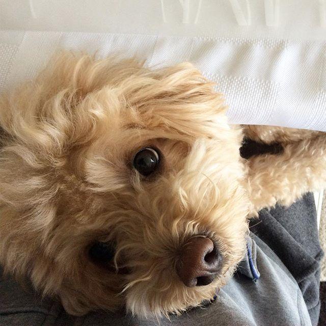 My eyes of adoration for you... #lookoflove . . . #maltipoo #maltese #poodle #goldendoodle #dogsofinstagram #doglover #cute #love #instapuppy #poodlesofinstagram #dog #puppy #puppylove #dogsofig #vancouverdogs #ilovemydog #dogslife #犬 #狗 #貴賓  #maltipoosofinstagram #animallover #トイプードル #말티즈 #푸들 #愛犬 #マルプー #말티푸 #puppyeyes