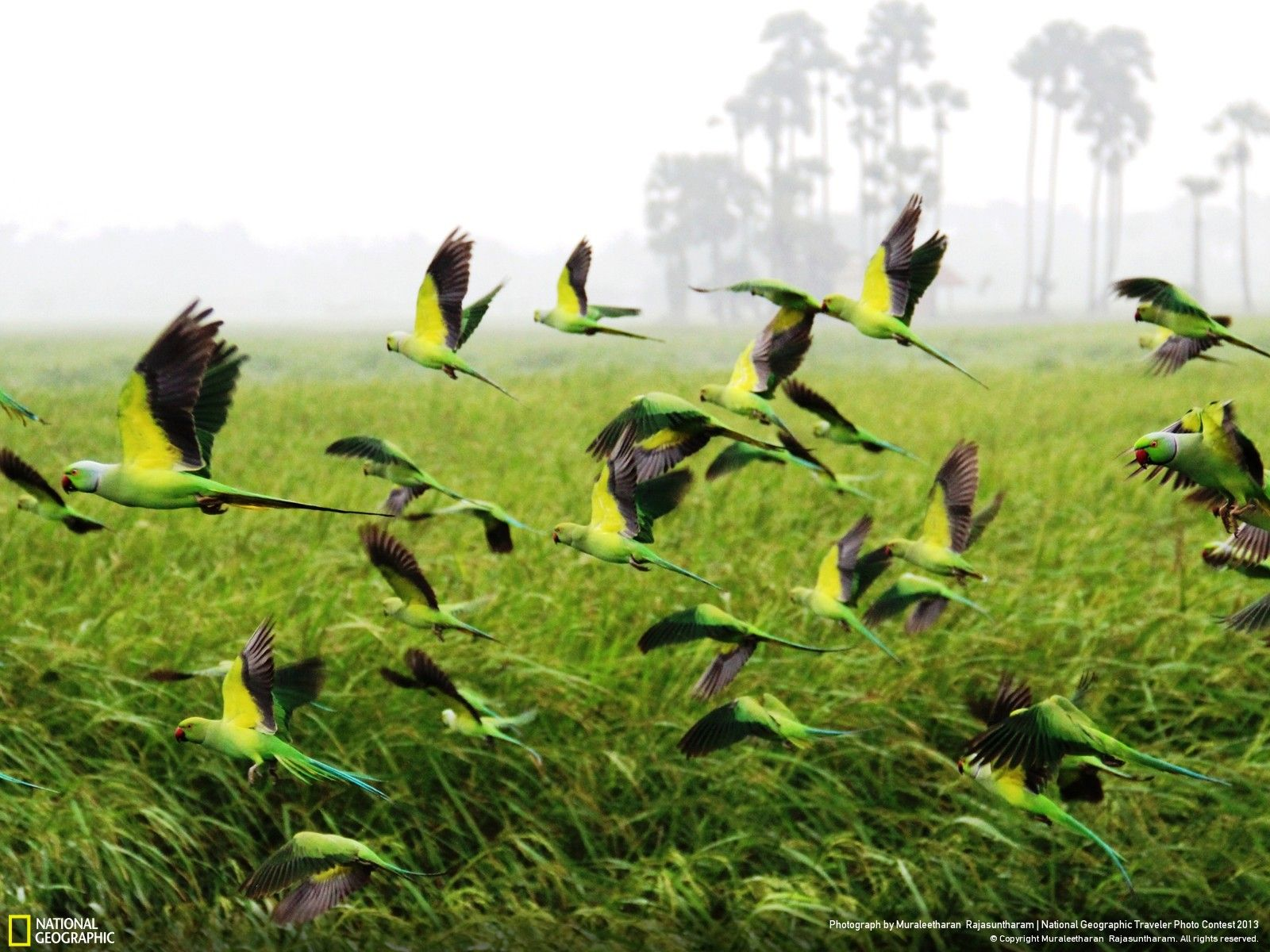 Flying Parrots From Paddy Field  Traveler Photo Contest 2013