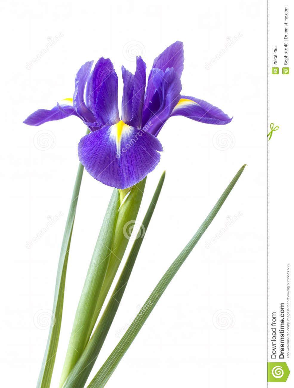Iris is a genus of 260300 species of flowering plants with showy iris is a genus of 260300 species of flowering plants with showy flowers dhlflorist Image collections