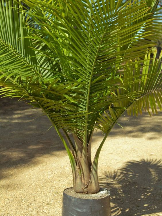 Palms Ravenea Rivularis