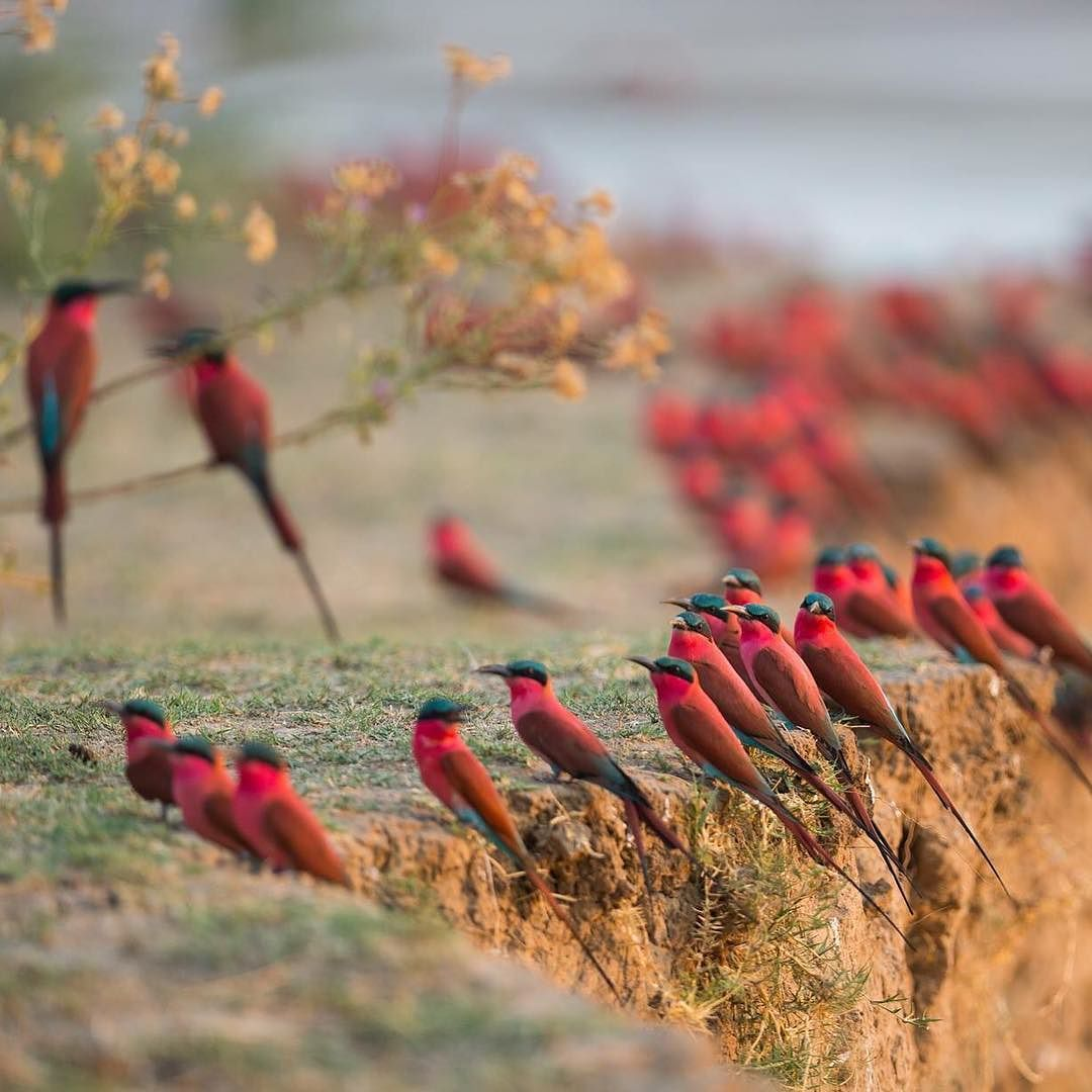 Carmine bee-eaters on the riverbank, South Luangwa, Zambia