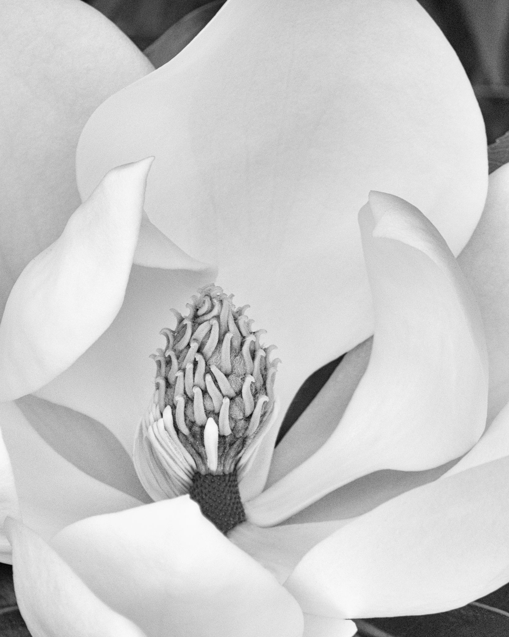 Magnolia Blossom by Connie Terry on 500px #photography #flower #magnolia #blackandwhite #nature #macro