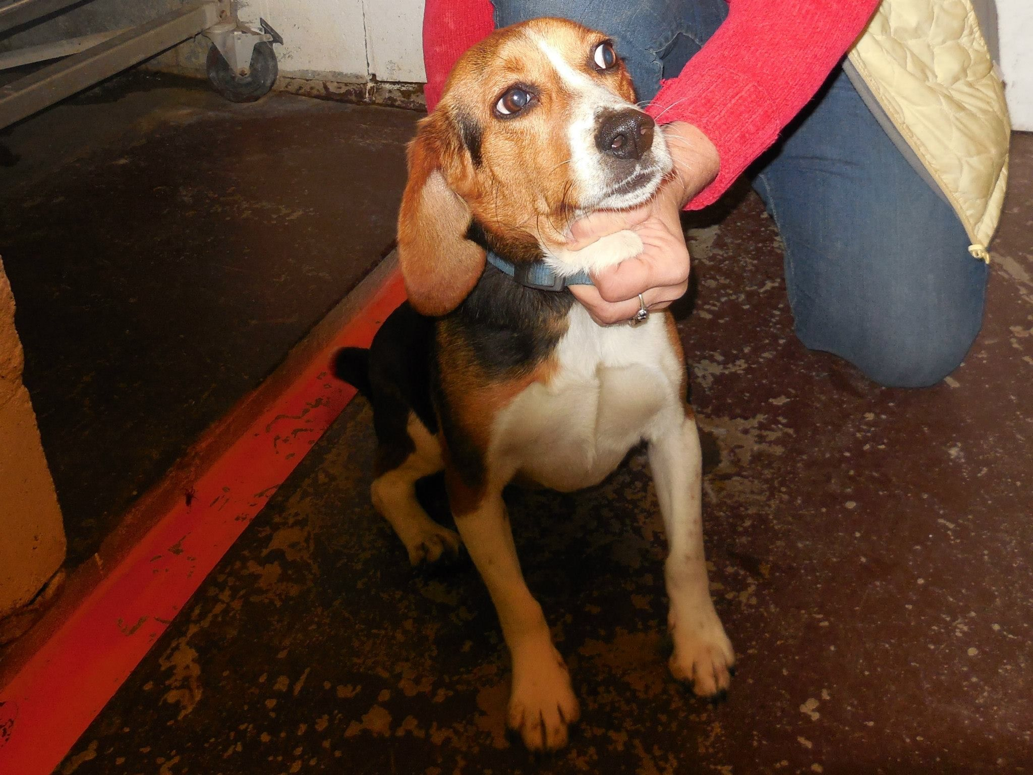Pokey Animal Control December 11 · Male Beagle short