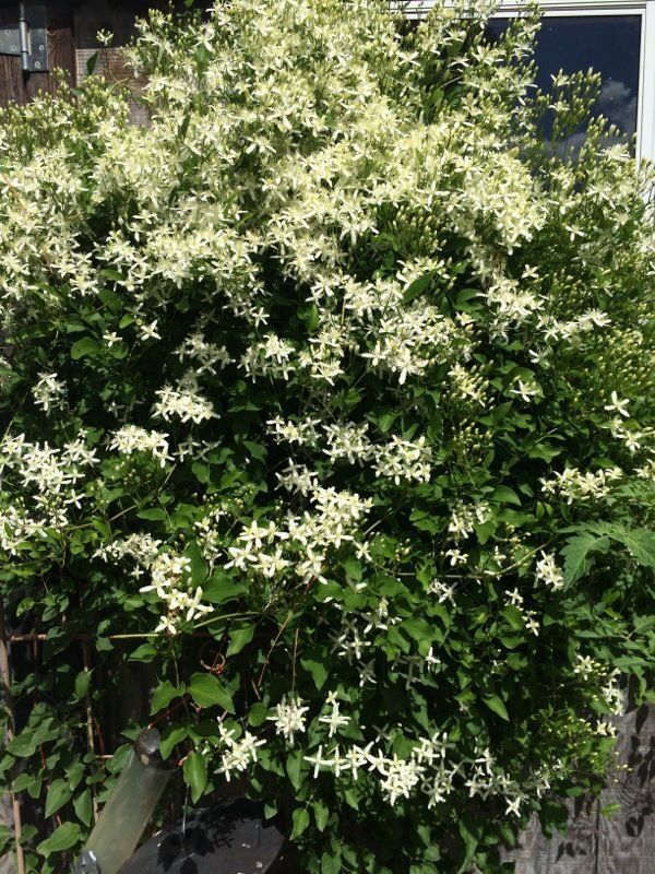 Virgins Bower (clematis virginiana): Virgin's Bower is a native deciduous  vine that grows
