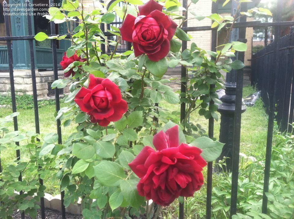 Full Size Picture Of Hybrid Tea Rose Oklahoma Rosa Hybrid