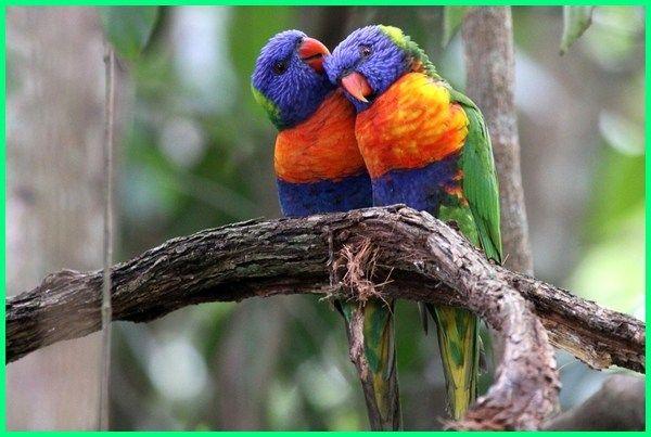 12 Jenis Burung Keren Khas Dari Australia Ekor9 Com Burung Australia Jenis