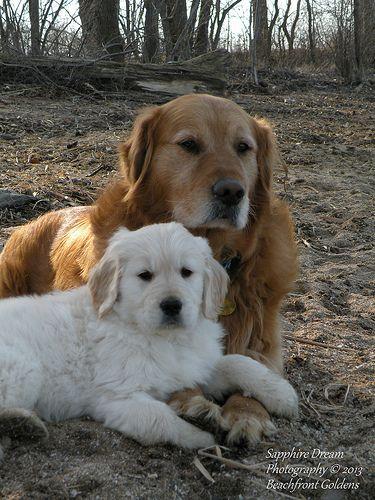 Austin And Slowpoke Goldens Love Dogs Golden Retriever