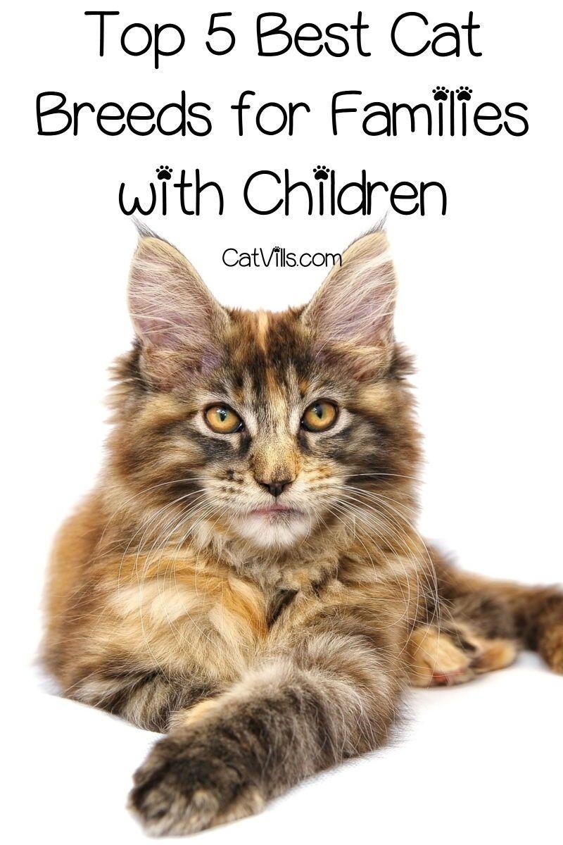 Top 5 Overall Best Cat Breeds for Children Best cat