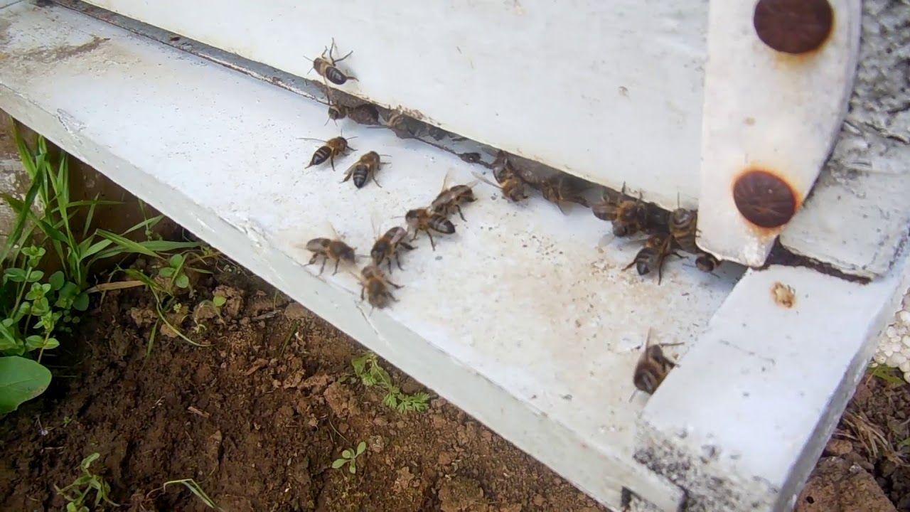 سبب رفرفة النحل بأجنحته أمام باب الخلية