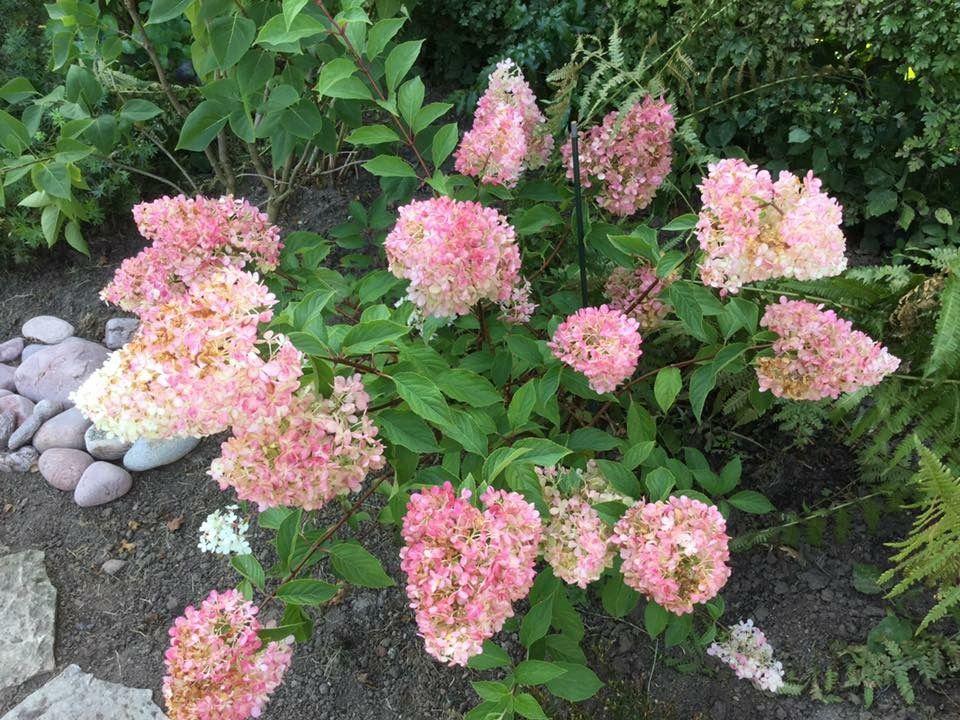 syren tr hortensia vanilla fraise nske blomster pinterest nske og blomster. Black Bedroom Furniture Sets. Home Design Ideas
