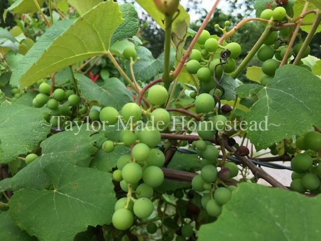 June Garden - Grapes It's June and our Texas vegetable garden is really ramping up for the year. C'mon through my garden gate and see what's going on... #TaylorMadeHomestead