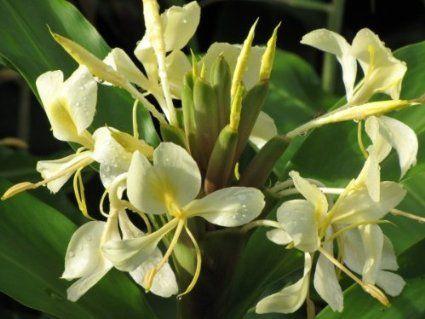 Amazon Com 4 Hawaiian Yellow Awapuhi Melemele Ginger Plant Plant Roots Ginger Plant Ginger Flower