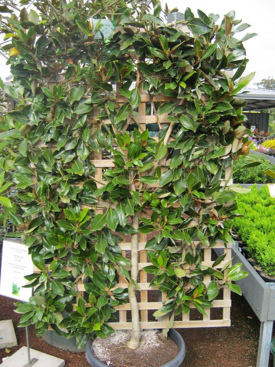Espalier Magnolia Trees | Espalier Magnolia