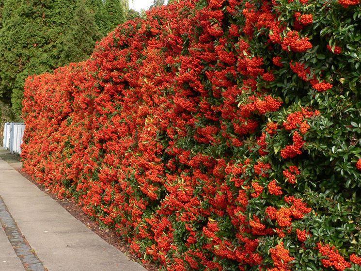 siepe fiorita   Piantare un giardino, Giardini esterni, Siepi