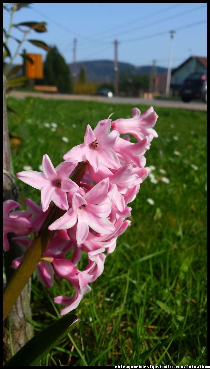 Hiacynt Kwiat Wiosenny Kwiaty Flowers Polish Flowers Polskie Kwiaty Kwiatki Kwiaty Ogrodowe Kwiaty Polne Kwiaty Lesne Przebisniegi Plants Image Rose