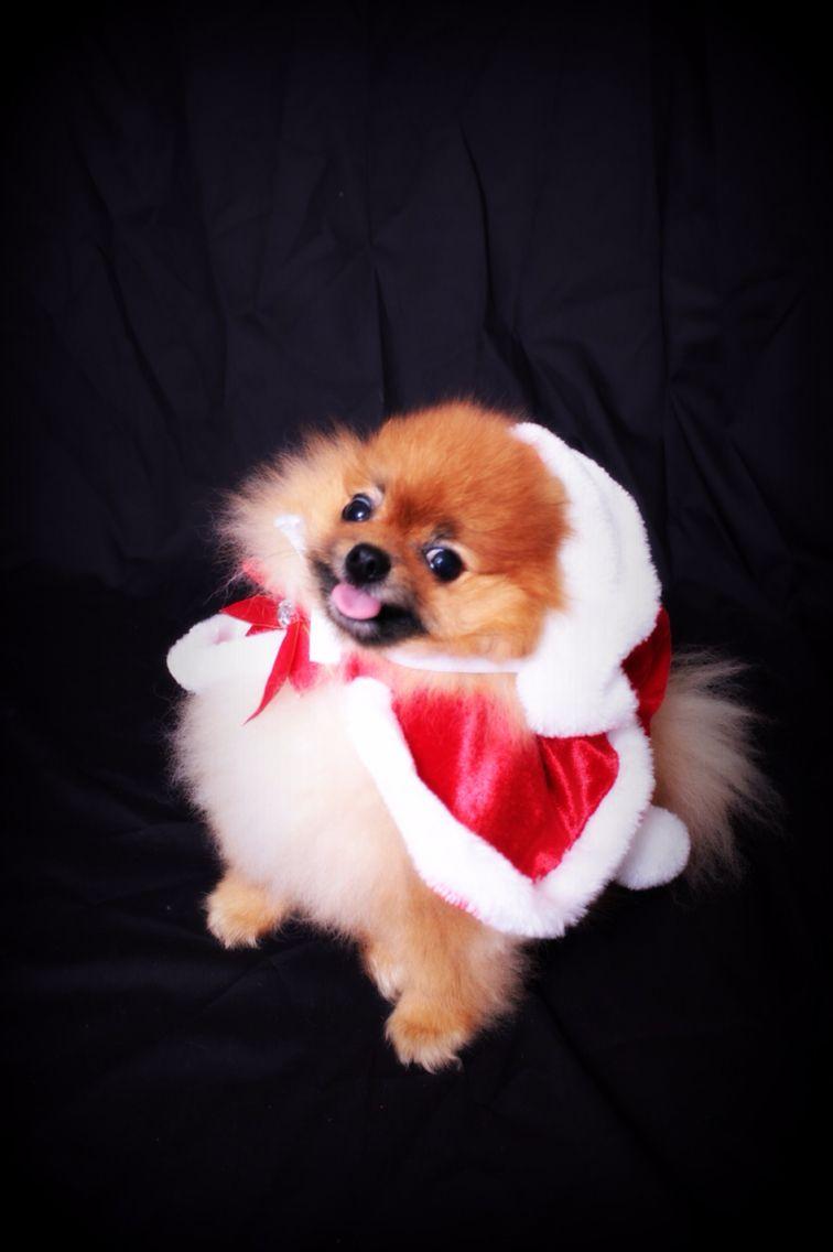Wolfgang the pomeranian in a Santa cape.