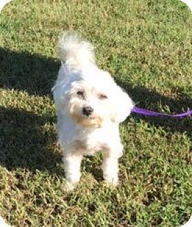 Raleigh Nc Maltese Meet Caroline A Dog For Adoption Http