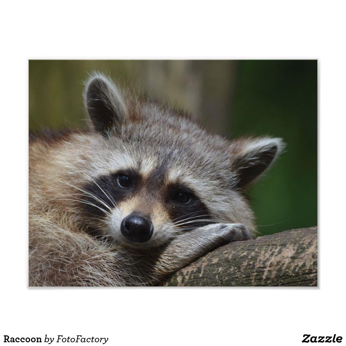 Raccoon Photo Print Zazzle Com Cute Raccoon Cute Animals Animals Beautiful
