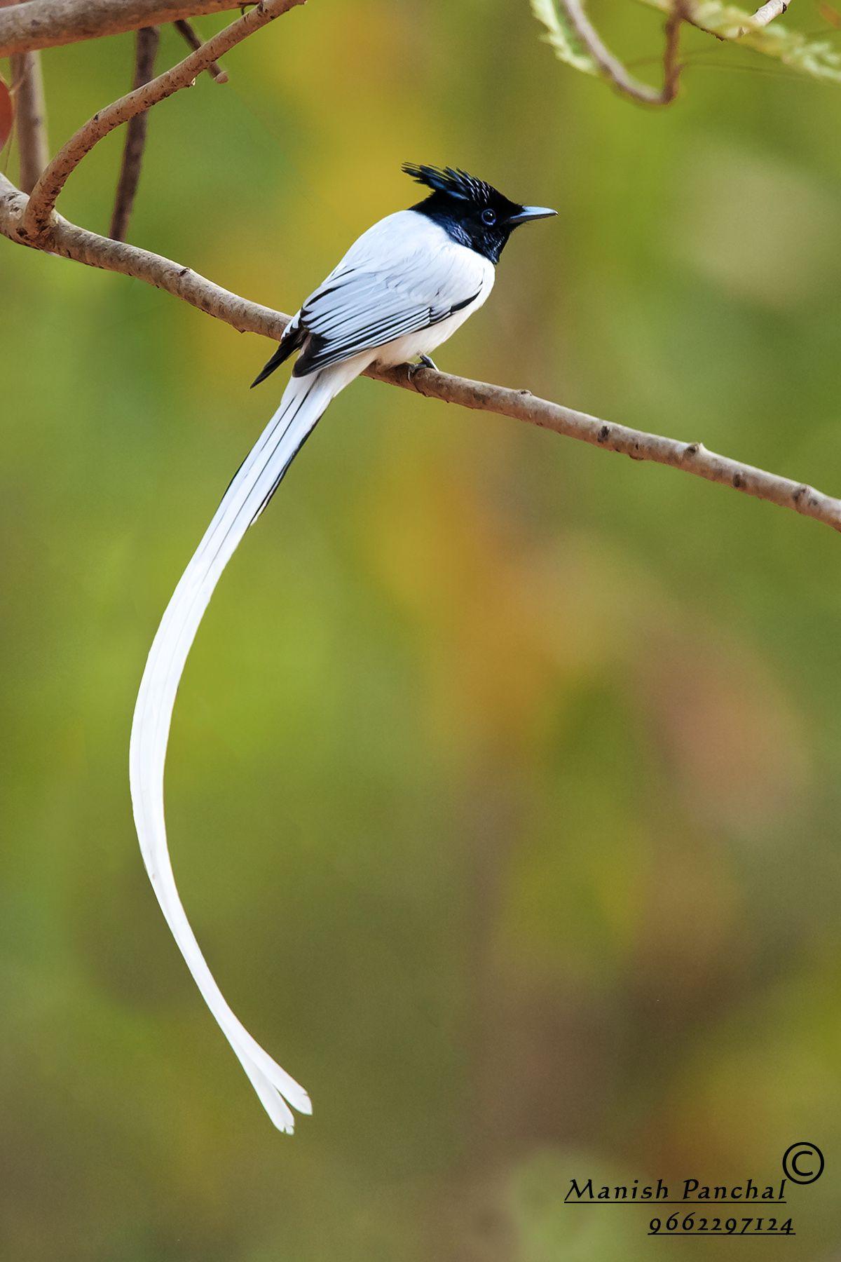 Asian Paradise Flycatcher Images