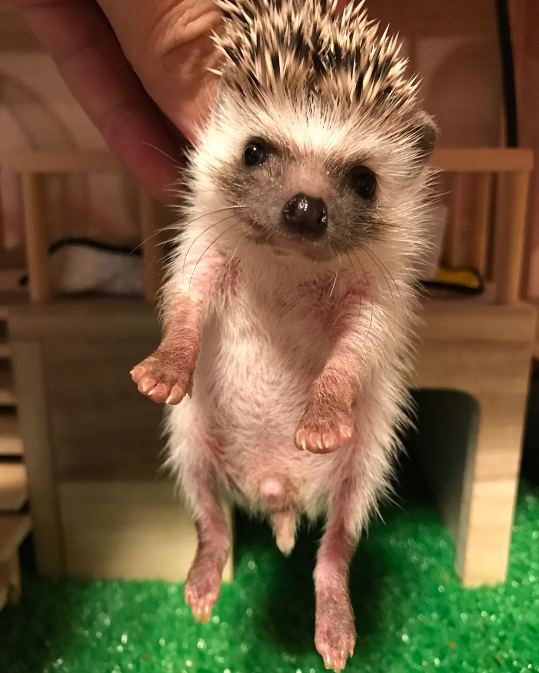 長女のチョコちゃんは顔が黒くて目が大きくてとってもかわいい はりねずみ ハリネズミ Hedgehog Hedgie 刺猬 刺蝟 고슴도치 Igel Erizo Riccio Ezh Herisson Animal Animals Hedgehog Ferret