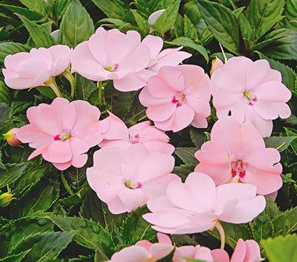 Impatiens sunpatiens vigorous blush pink 2014 planted two under flowers mightylinksfo