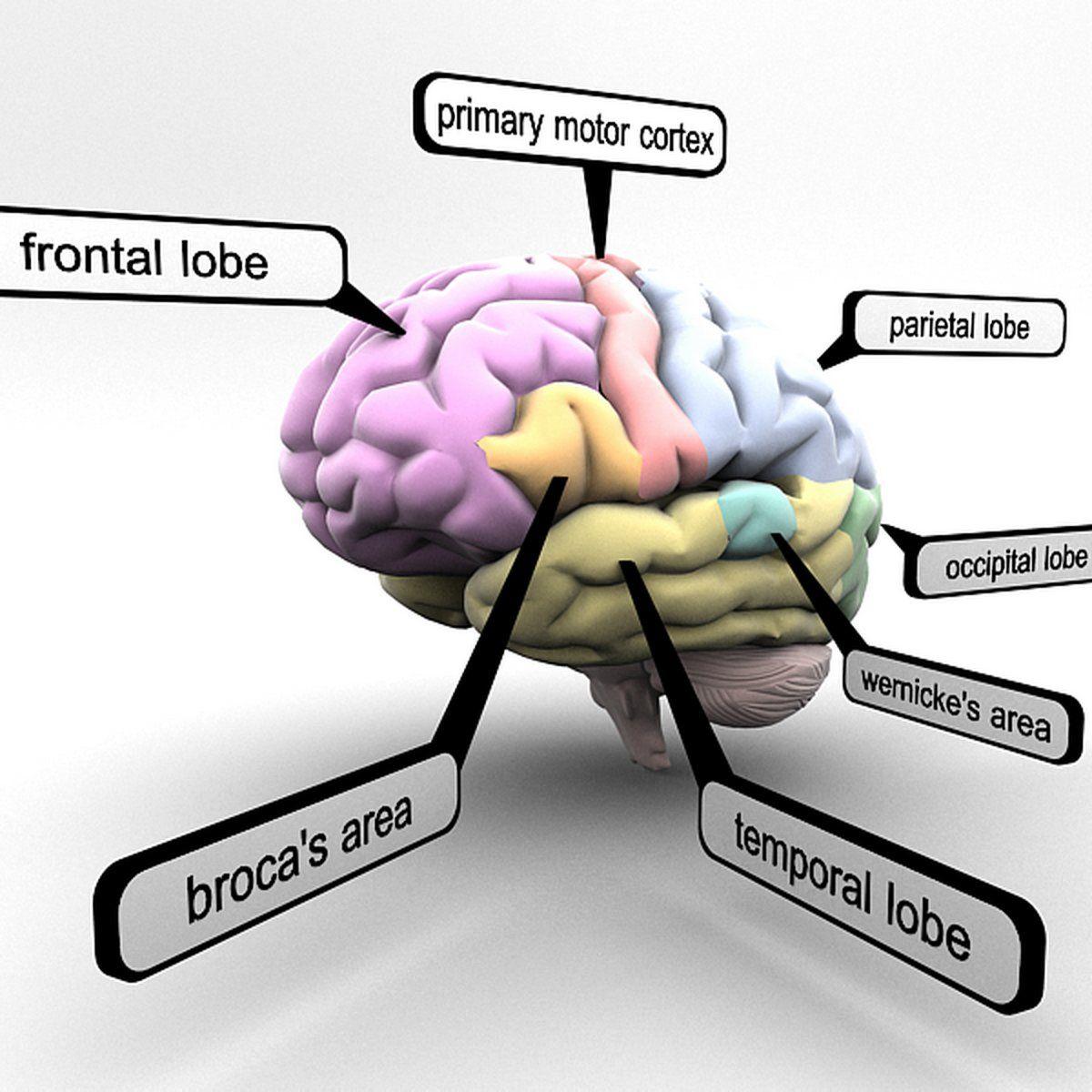 Brain Lobes Regions Educational Brain Lobes Brain Models Brain