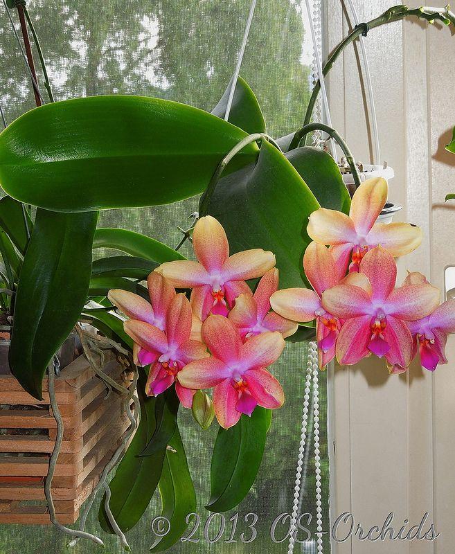 phalaenopsis liodoro 39 sweet memory 39 sweetly fragrant. Black Bedroom Furniture Sets. Home Design Ideas