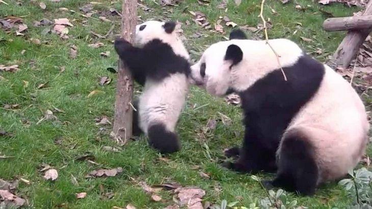 funny annoyed animals: adult panda bear scruffs panda cub ...