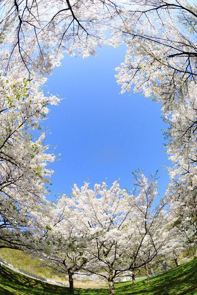 Window of Sakura, Japan