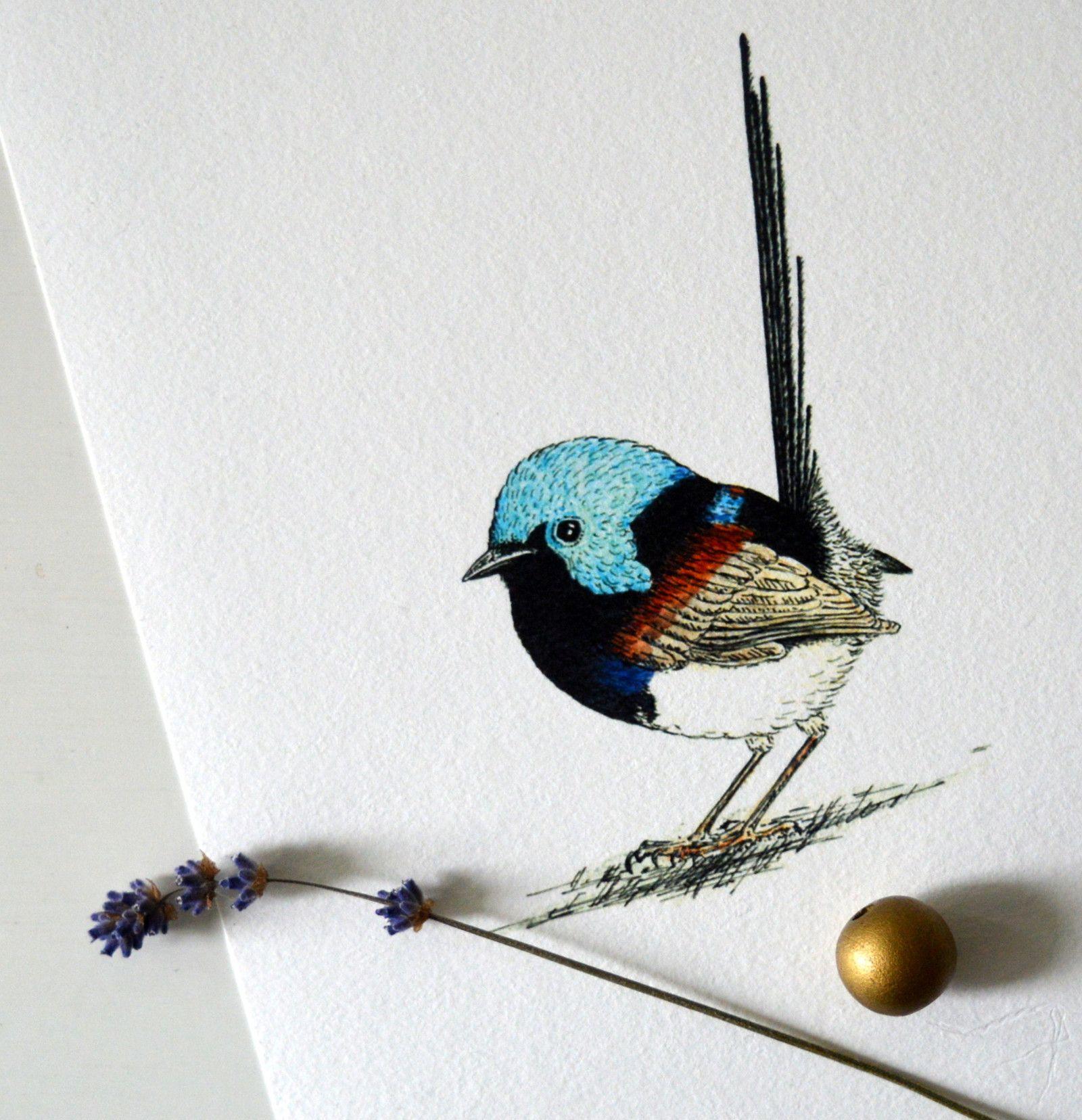 Modroplastnik Promenlivy Reprodukce Autorske Kresby Tusi A