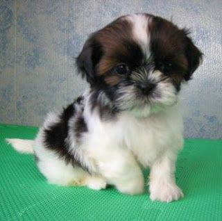 Pin By Connie Queen On Pawprints Morkie Puppies Cute Animals Shih Tzu
