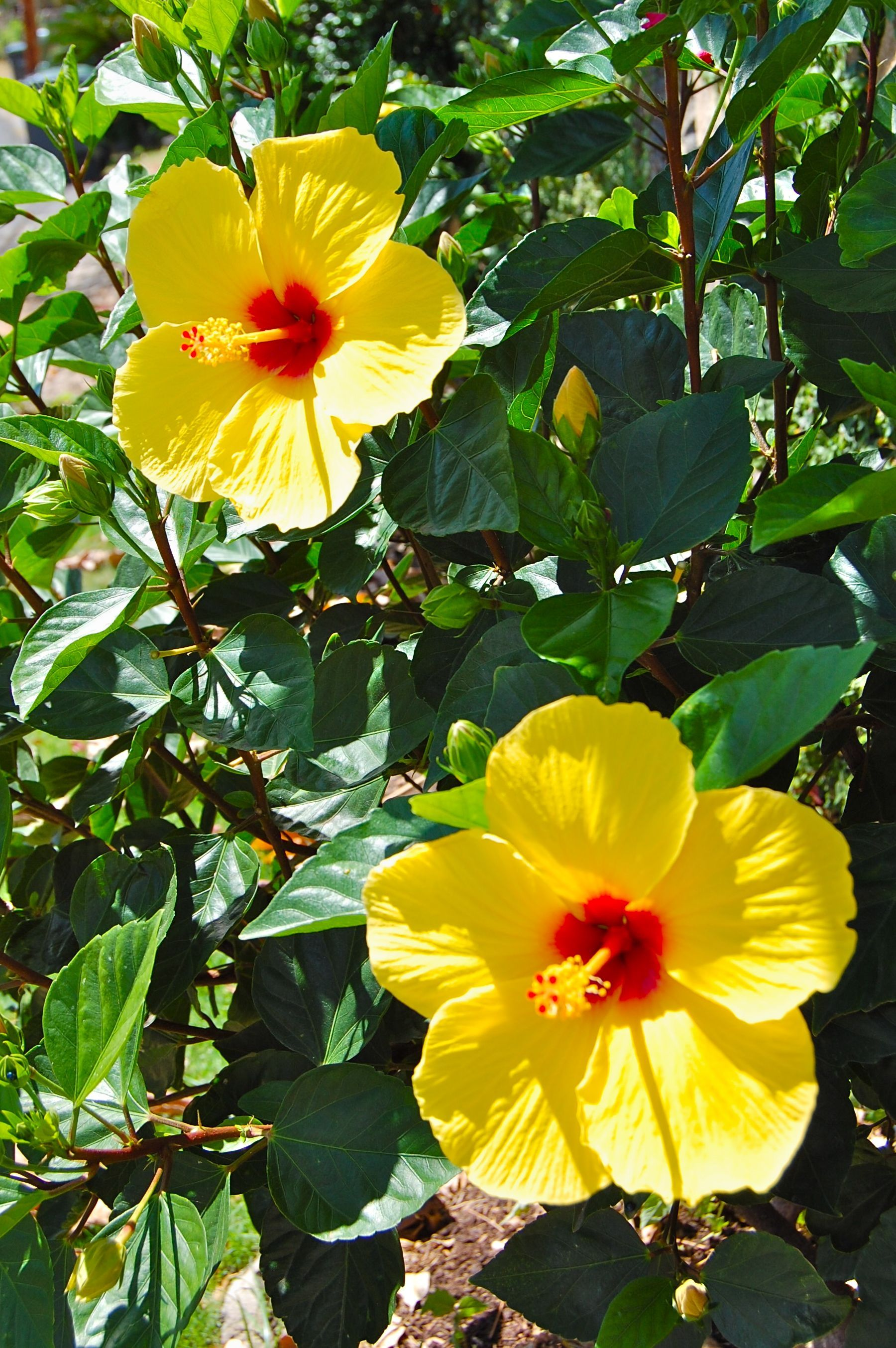 Mao hau hele yellow hibiscus endemic and endangered is the yellow hibiscus endemic and endangered is the state flower of hawaii i think this is the more common chinese hibiscus based on the leaf shape izmirmasajfo