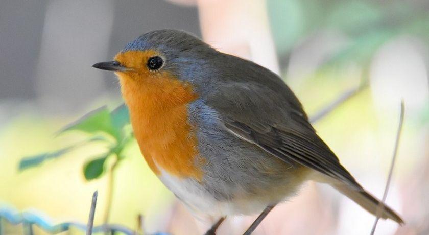 Jardin 5 Choses A Savoir Sur Le Rouge Gorge Rouge Gorge Oiseau Rouge Gorge Oiseaux Des Jardins