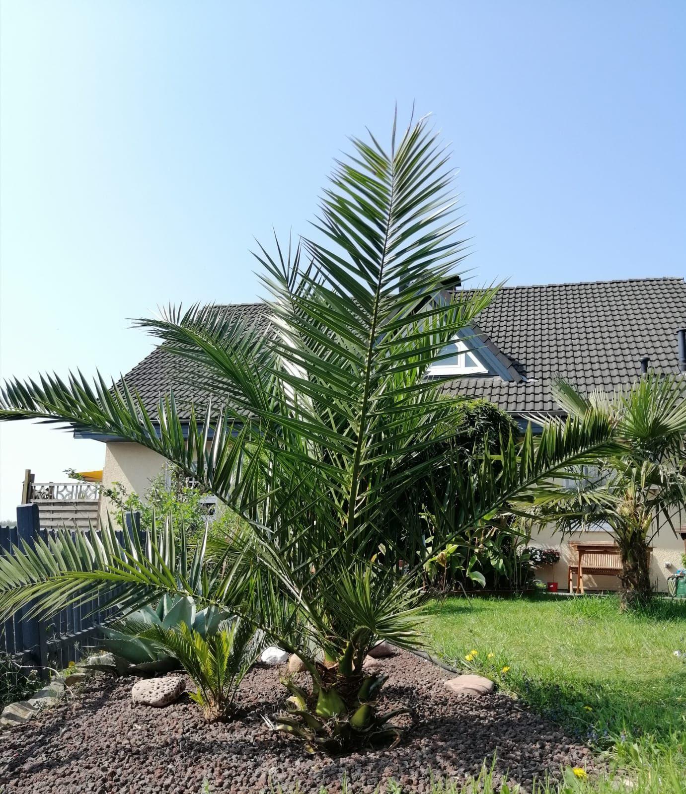 Phoenix Canariensis Ausgepflanzt In Deutschland In 2020 Palmenarten Palmen Garten Pflanzen