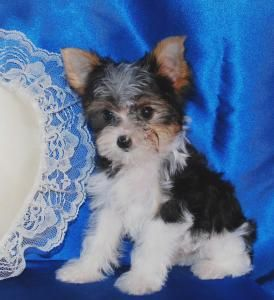 Teacup Parti Yorkie Puppy For Sale In Blookshire Texas Yorkie Puppy For Sale Yorkie Puppy Yorkie
