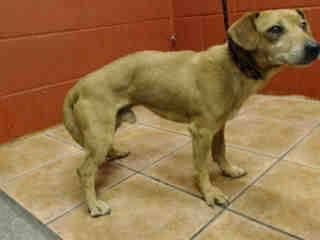 PLEDGES AND RESCUE NEEDED! A4789296 I don't have a name yet and I'm an approximately 3 year old male chihuahua sh. I am not yet neutered. I have been at the Downey Animal Care Center since January 5, 2015. I will be available on January 9, 2015. You can visit me at my temporary home at D606. https://www.facebook.com/photo.php?fbid=790567334356934&set=a.621812584565744&type=3&theater