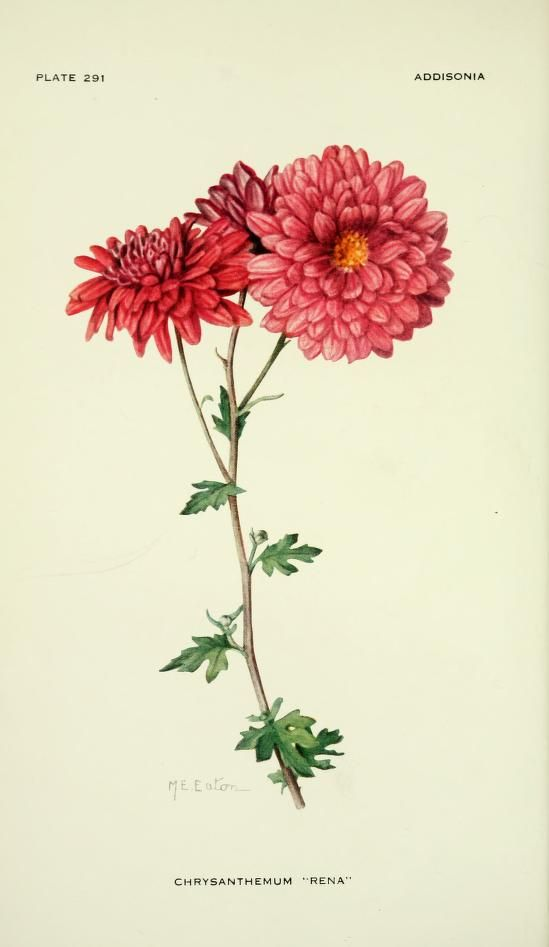 Chrysanthemum Rena Illustration By Mary E Eaton From Addisonia 1924 New York Botani Botanical Drawings Vintage Botanical Prints Botanical Illustration