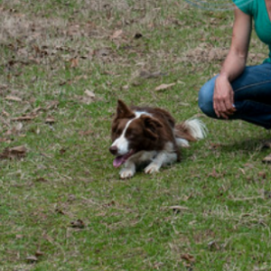 Bordoodles Border Collie Poodle Mix Farm Dogs Collie Poodle Mix