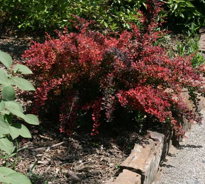 Japanese Barberry | Garden Deer Resistant Zone 5 | Pinterest | Japanese Plants And Garden ...