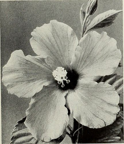 Image From Page 34 Of Armstrong Nurseries 1934 By Internet Archive
