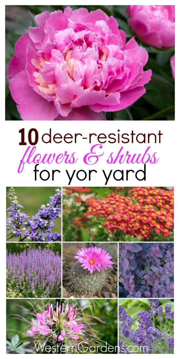 deer resistant flowering shrubs
