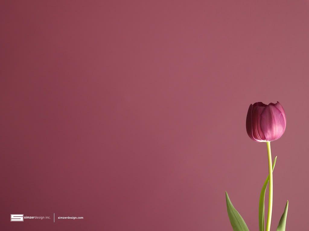 Tulip Wallpaper Tulip Desktop Background Hd Background Wallpaper Tulips Images Tulips Flowers Tulips