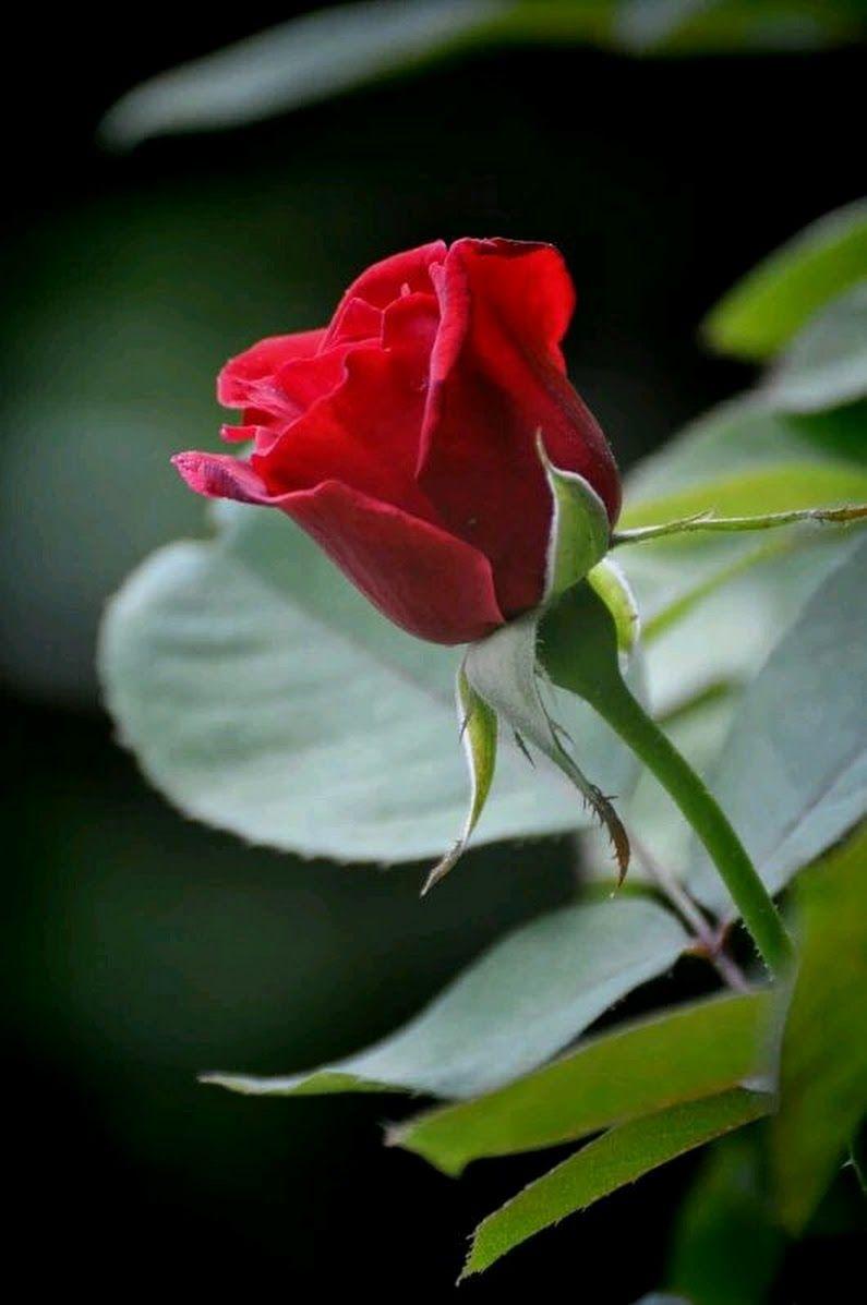 Sign In Beautiful Rose Flowers Beautiful Red Roses Hybrid Tea Roses